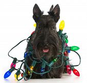 christmas dog - scottish terrier tangled in colorful christmas lights on white background