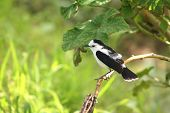 pied water-tyrant on branch