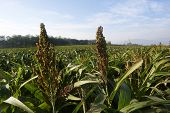 stock photo of sorghum  - Calino Franciacorta  - JPG