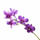 purple streaked orchid flower isolated