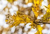 Golden oak leaves