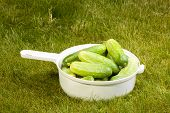 cucumbers in a white pot on the green grass