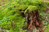Tree Stump With Green Moss