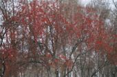 Snowing With Red Berries On Background