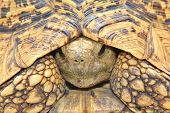 Leopard Skinned Tortoise - African Reptile Background - Shell Safety