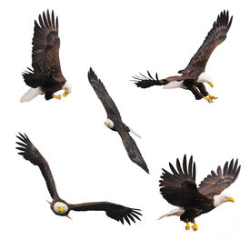 pic of eagles  - Five bald eagles isolated on white background - JPG