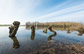 stock photo of flood  - Pruned willows in a flooded area from close on a windless day at the end of the winter season in the Netherlands - JPG