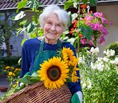 foto of sunflower  - Close up Happy Elderly Woman Carrying a Basket with Attractive Sunflowers at the House Garden Looking at the Camera - JPG