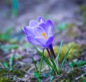 Постер, плакат: Crocuses Flowers