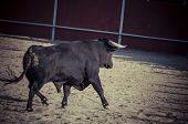 stock photo of animal cruelty  - Fighting bull picture from Spain - JPG