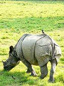 Rinoceronte branco selvagem com pássaro