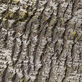 foto of white bark  - closeup of bark of white poplar with yellow moss - JPG