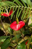 foto of tail  - Anthuriums also called tail flower - JPG