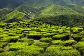 pic of cameron highland  - Tea plantation in the mountains of Cameron Highlands Malaysia - JPG