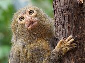 picture of marmosets  - Portrait of a Pygmee monkey on a tree - JPG