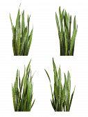 foto of sansevieria  - Set of Sansevieria trifasciata plant  - JPG