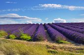 picture of plateau  - Stunning landscape with lavender field under warm evening light - JPG