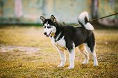 picture of dry grass  - Young Happy Husky Puppy Eskimo Dog Sitting In Dry Grass Outdoor In Autumn - JPG