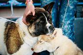 image of eskimos  - Young Happy Husky Puppy Eskimo Dog And American Akita Sitting Together - JPG