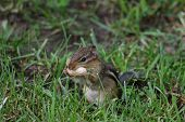 picture of chipmunks  - Chipmunk with peanut in its mouth in backyard - JPG