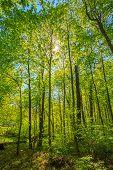 stock photo of canopy  - Spring Sun Shining Through Canopy Of Tall Trees - JPG
