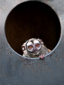 image of zoo  - Portrait of an Owl monkey in the zoo - JPG