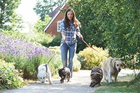 stock photo of working-dogs  - Professional Dog Walker Exercising Dogs In Park - JPG