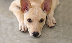 stock photo of puppy eyes  - Cute puppy with big eyes resting his head on paws on the ground while looking straight up with a sincere wistful look in his eyes - JPG