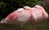 Flamingo menor 005