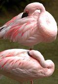 Flamingo menor 006