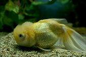 Yellow Chinese Fish