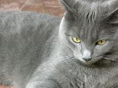 Beautiful  Chartreux Cat