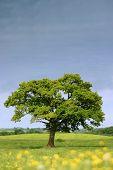 Single Summer Tree