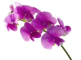 picture of sweet pea  - pink beautiful sweet pea isolated on white background  - JPG