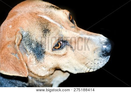 poster of A Cute Brown Colored Indian Street Dog Also Know As Puppy Dog On Black Background. Puppy Of Indian L