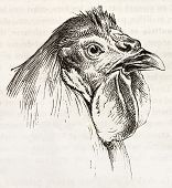 Breda chicken head old illustration. Created by Jacque and Lavieille, published on Merveilles de la