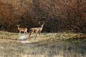 Deer Mating