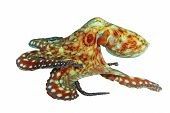 Reef Octopus (Octopus cyaneus) isolated on white background