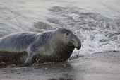 Bull Elephant Seal comes ashore onto San Simeon Beach, California
