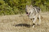 foto of north american gray wolf  - Wolf running from the woods in Montana - JPG