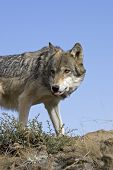 Wolf stands atop a rocky ledge for vantage