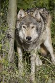 foto of north american gray wolf  - Male Wolf emerges from the Montana woods - JPG