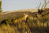 Cougar jumps up onto rocks in pursuit