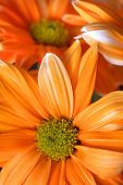 stock photo of daisy flower  - Many orange daisy flowers close up shot - JPG