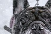 Old Pug Walks In The Snow With His Master Looking At The Camera. Close-up Of Dog Eyes poster