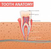 Realistic Illustration Tooth Anatomy In 3d Vector. Image Human Tooth In Section In Gum. Poster Medic poster