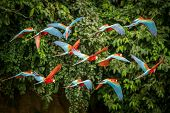 Flock Of Red Parrot In Flight. Macaw Flying, Green Vegetation In Background. Red And Green Macaw In  poster