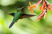 Green-crowned Brilliant, Heliodoxa Jacula, Hovering Next To Orange Flower, Bird From Mountain Tropic poster