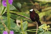 Snowcap, Sitting On Branch, Bird From Mountain Tropical Forest, Costa Rica, Natural Habitat, Beautif poster