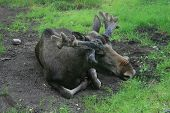 A Moose Relaxing On The Ground